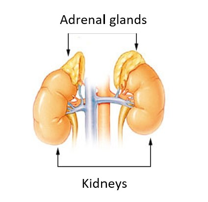 This image has an empty alt attribute; its file name is Adrenal-Glands-Diagram.jpg
